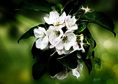 PS CS5 Bildbearbeitung; Apple; Blossom; Bokeh; Glow; Spring