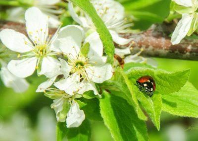 CS6 Image Editing; Nature; Ladybug; Summer; Appleblossom