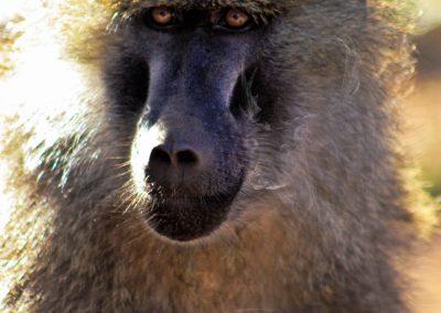 PS CS6 Image Editing; Nature; Pavian